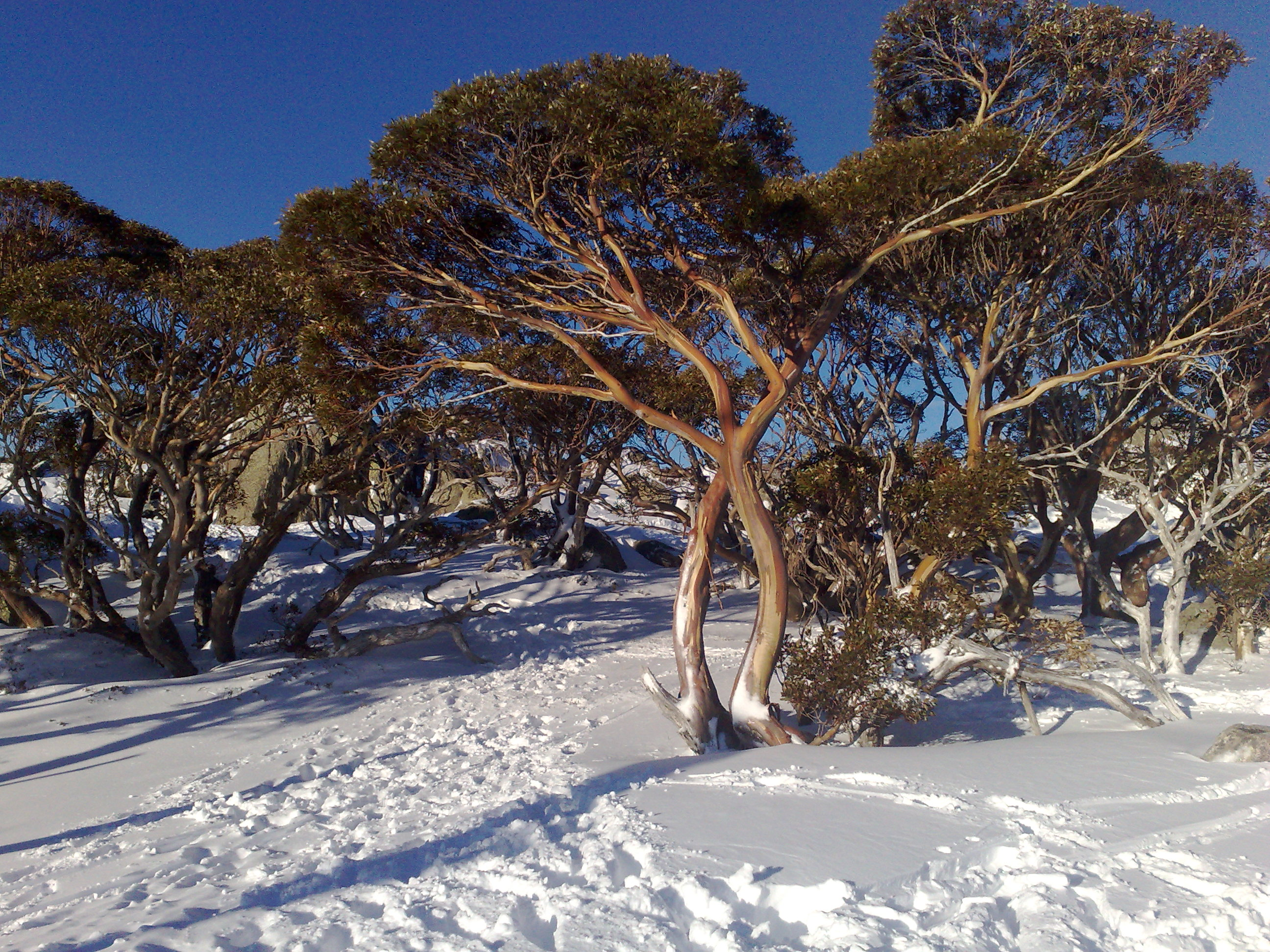 More fires – less snow gums? – Mountain Journal